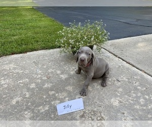 Weimaraner Puppy for sale in PESHTIGO, WI, USA