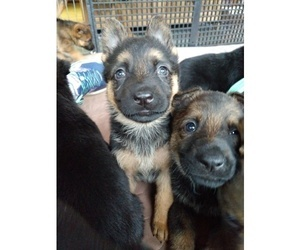 German Shepherd Dog Puppy for Sale in POMFRET CENTER, Connecticut USA