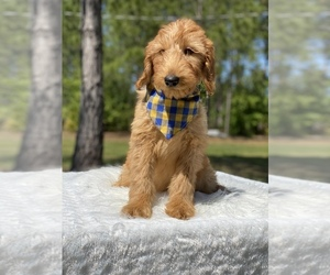 Goldendoodle Puppy for Sale in FROSTPROOF, Florida USA