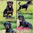 Rottweiler Puppy For Sale near 17963, Pine Grove, PA, USA