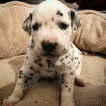 Dalmatian Puppy For Sale in COLUMBIA, PA