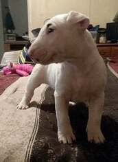 Medium Bull Terrier