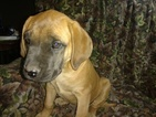 Mastiff Puppy For Sale in AUGUSTA, KS, USA