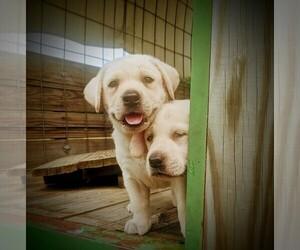 Labrador Retriever Puppy for Sale in LEAVENWORTH, Kansas USA