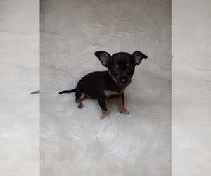 Chihuahua Puppy for sale in INDIANAPOLIS, IN, USA