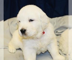 English Cream Golden Retriever Puppy for Sale in LOUISBURG, North Carolina USA