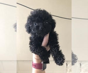 Poodle (Miniature) Puppy for sale in FAYETTEVILLE, WV, USA