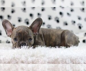 French Bulldog Puppy for sale in CODORA, CA, USA