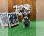 Small #5 German Wirehaired Pointer