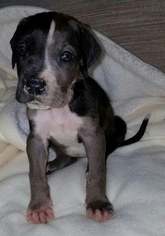 Great Dane Puppy For Sale in WHITTIER, CA