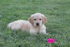 Golden Retriever Puppy For Sale in REBERSBURG, PA, USA