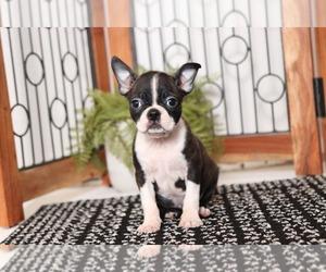 Boston Terrier Dog for Adoption in NAPLES, Florida USA