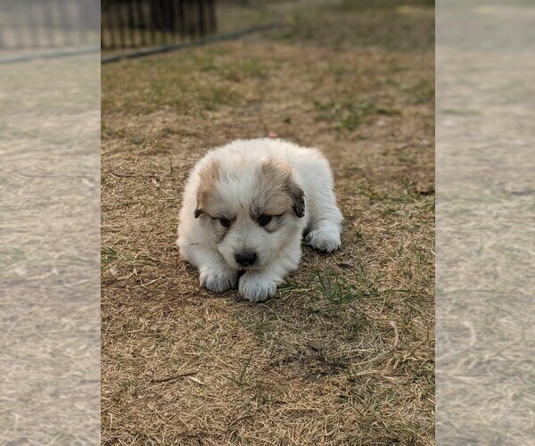 Medium Photo #114 Great Pyrenees Puppy For Sale in FALCON, CO, USA