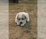 Small #113 Great Pyrenees