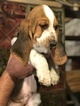 Basset Hound Puppy For Sale in STRATFORD, CT, USA