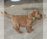Small #4 Goldendoodle-Poodle (Standard) Mix