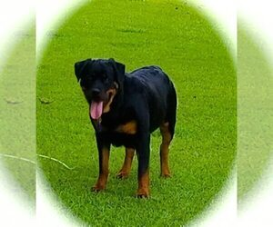 Mother of the Rottweiler puppies born on 06/03/2019