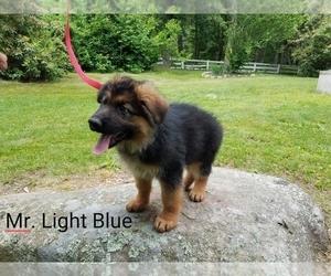 German Shepherd Dog Puppy for Sale in CHEPACHET, Rhode Island USA