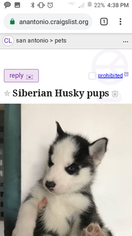 View Ad: Siberian Husky Puppy for Sale, Texas, SAN ANTONIO, USA