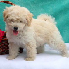 Shih-Poo Puppy for sale in GAP, PA, USA