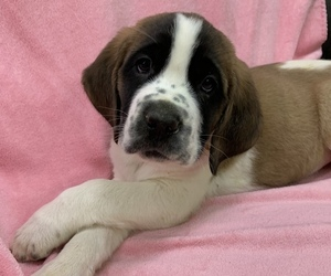 Saint Bernard Puppy for Sale in MORSE BLUFF, Nebraska USA