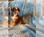 Puppy 11 Sheprador