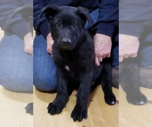 German Shepherd Dog Dog for Adoption in BUCKNER, Missouri USA