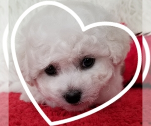 View Ad: Bichon Frise Litter of Puppies for Sale near Oregon