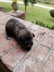 Cane Corso Puppy For Sale in GOODLETTSVILLE, TN, USA