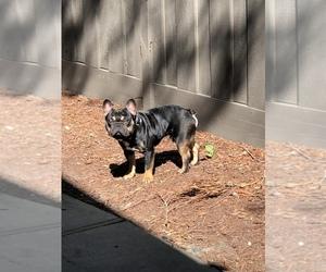 French Bulldog Dog for Adoption in SANTA CLARA, California USA