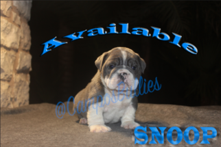 English Bulldogge Puppy For Sale in LAS VEGAS, NV, USA