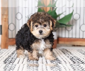 Yorkie-Poo Puppy for sale in NAPLES, FL, USA