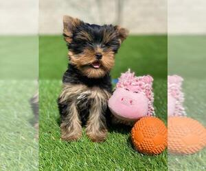 Yorkshire Terrier Puppy for Sale in SIMI VALLEY, California USA