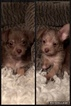 Chihuahua Puppy For Sale in LONGWOOD, FL, USA