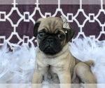 Small #11 Pug