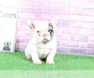 French Bulldog Puppy for sale in BEL AIR, MD, USA