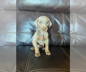 Doberman Pinscher Puppy for sale in FINLAYSON, MN, USA