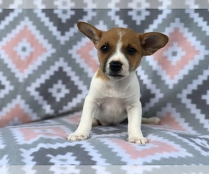 Jack Russell Terrier Puppy for sale in LAKELAND, FL, USA