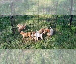 Golden Retriever Dog for Adoption in LEON, Kansas USA