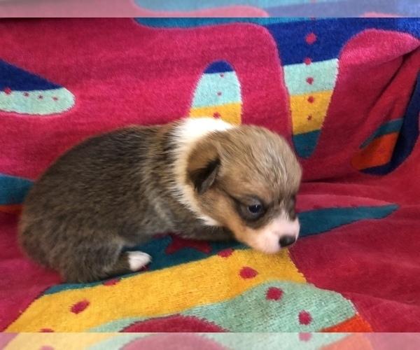 Medium Photo #1 Pembroke Welsh Corgi Puppy For Sale in RAMONA, OK, USA