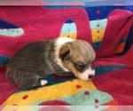 Small Photo #1 Pembroke Welsh Corgi Puppy For Sale in RAMONA, OK, USA