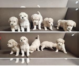 Maltipoo Puppy for Sale in EL PASO, Texas USA