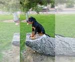 Small #53 Rottweiler