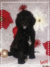 Poodle (Standard) Puppy For Sale in VICTORVILLE, CA, USA