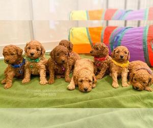 Goldendoodle-Poodle (Miniature) Mix Puppy for Sale in BREA, California USA