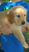 Golden Retriever Puppy For Sale in FAYETTEVILLE, TN,