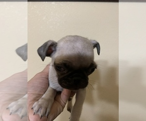 Pug Puppy for Sale in TULARE, California USA