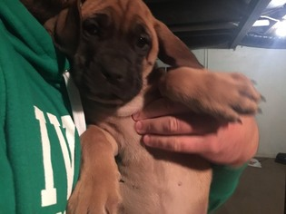 Mastiff Puppy For Sale in HOPE, IN, USA