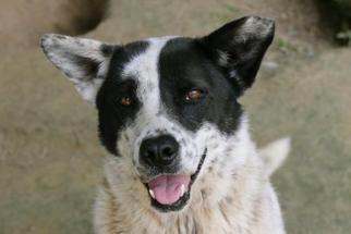 Rocket - Cattle Dog / Border Collie / Mixed Dog For Adoption