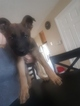 German Shepherd Dog Puppy For Sale in DENVER, CO